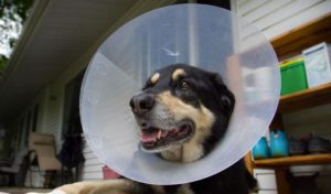 collare elisabettiano per cani