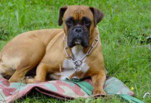 collare a strozzo da addestramento per cani