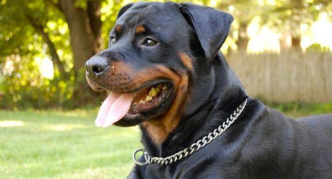 miglior collare a strozzo da addestramento per cani